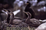 Shag Chicks (Phalacrocorax aristotelis), Northumberland, England
