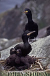 Shag with Chicks on nest (Phalacrocorax aristotelis), Northumberland, England