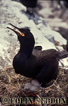 Shag on nest (Phalacrocorax aristotelis), Northumberland, England