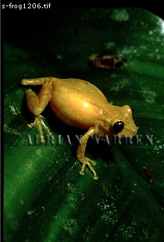 Yellow Tree FROG (Hyla sp.) Courtship, Costa Rica, Central America
