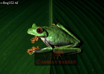 TREE FROG (Agalychnis sp.), Costa Rica
