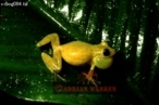 Yellow Tree FROG (Hyla sp.), Costa Rica, Central America
