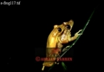 Yellow Tree FROGS (Hyla sp.) Courtship (mating), Costa Rica, Central America