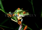 Red-eyed Tree Frog (Agalychnis callidryas) Courtship (mating), Costa Rica, Central America