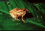 Tree Frogs mating, Costa Rica