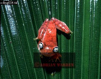 TREE FROG (Hyla sp.) Carauari, Rio Jurua, Brazil, 1978