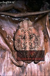 Giant TOAD (Bufo marinus), Carauari, Rio Jurua, Brazil, 1979
