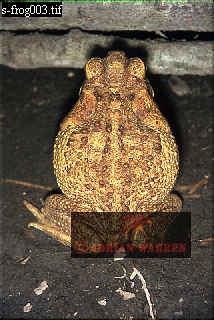 Giant TOAD (Bufo marinus), Guyana