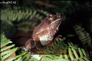 BUFO (SP. NOV.): related to Bufo ceratophrys, Guyana, 1969