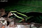 Arrow-poison FROG (Dendrobates), Carauari, Rio Jurua, Brazil, 1979