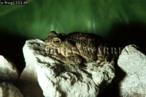 Bufo granulosus Toad, Trinidad