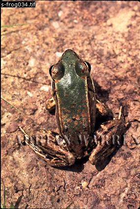 FROG: found at Roraima Base Camp, River Kukenaam (Kukenan, Cuguenan), Venezuela, 1974