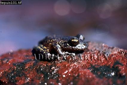 Frog (Hyla Sp.), Auyantepui Summit, Venezuela