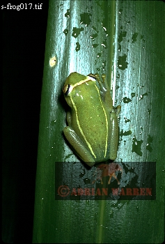 AUYANTEPUI: FROG found at camp Guayaraca (3200 feet), 1974