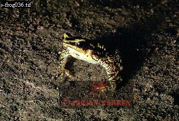 Atelopus Poison Frog (Atelopus crucifer), Rancho Grande, Venezuela, 1974