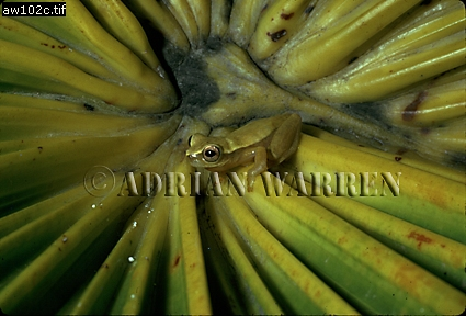Tree Frog (Hyla Sp.) Camarata, Venezuela