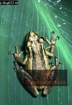 FROG (Hyla sp.), Camarata, Venezuela, 1976
