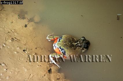 Foam-Nesting Frog (Pleurodema), Llanos, Venezuela