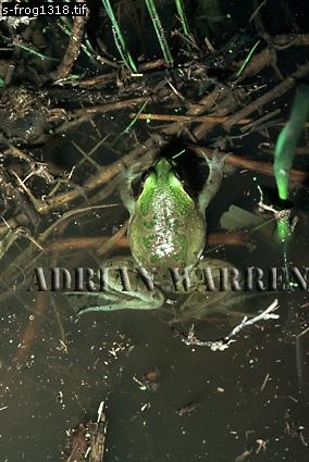 Paradoxical Frog (Pseudis paradoxus), Apure, Venezuela