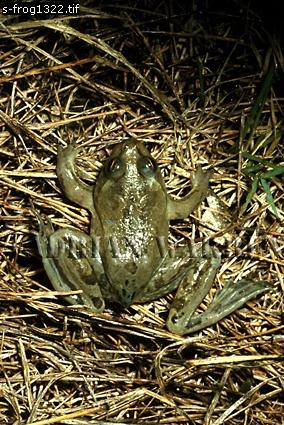 Paradoxical Frog (Pseudis paradoxus), Llanos, Venezuela