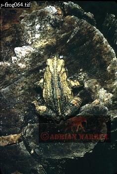 FROG (Eupemphix pustulosus), Llanos, Venezuela, 1974