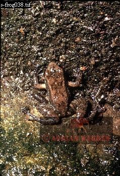 FROG (Colostechus), Rancho Grande, Venezuela, 1974