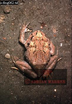 FROG (Eleutherodactylus), Rancho Grande, Venezuela,
