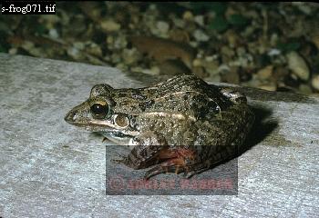 FROG (Leptodactylus fuscus), Llanos, Venezuela, 1974