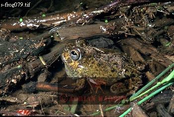 Foam-Nesting FROG ( Pleurodema), Apure, Venezuela, 1980