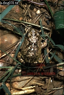 Pleurodema Toad, Llanos, Venezuela