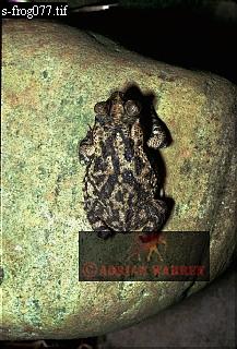 Toad (Bufo granulosus), Camarata, Venezuela, 1974