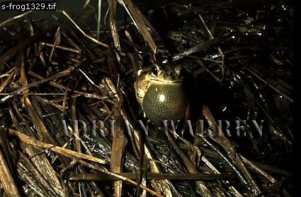 Toad (Bufo granulosus) calling, Llanos, Venezuela