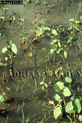 Hyla Spawn Tree Frog, Llanos, Venezuela