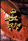 Dendrobatid Frog (Dendrobates leucomelas), Venezuela
