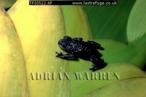Toad (Oreophrynella quelchii), Roraima Summit, Venezuela, 2001
