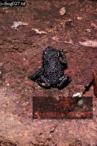 Toad (Oreophrynella quelchii), Roraima Summit, Venezuela, 1974