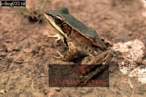 FROG: found at Roraima Base Camp, River Kukenaam (Kukenan, Cuguenan), Venezuela, 1974
