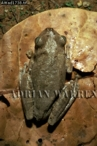 Tree Frog (Hyla crepitans), Llanos, Venezuela