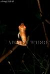 Tree Frog (Hyla Sp.) , Camarata, Venezuela