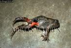 Pleurodema Frog, Llanos, Venezuela