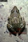 FROG (Leptodactylus), Camarata, Venezuela, 1974