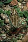 FROG (Leptodactylus oxylatus), Llanos, Venezuela