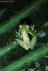 Centrolenid Frog, Rancho Grande, Venezuela