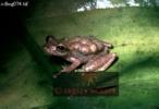 FROG (Phlectonotus): gravid, Venezuela