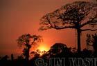 Waorani Indians: Giant canopy trees add drama to Ecuadorian sunsets, Limoncocha, 1975, Ecuador