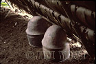 Waorani Indians: Pottery used for carrying water, Tewaeno, 1975, Ecuador
