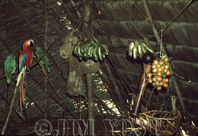 Waorani Indians: Platanos and chonta palm (g. Gasipaes) are principal food sources Jan - Mar, Tewaeno, 1973, Ecuador