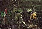 Waorani Indians: Platanos and chonta palm (g. Gasipaes) are principal food sources Jan - Mar, Tewaeno, 1973, Ecuador