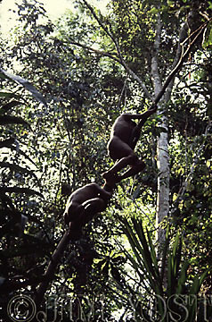 Waorani Indians: Harvesting food from the rainforest often requires precarious ascents into the canopy, Tewaeno, 1975, Ecuador