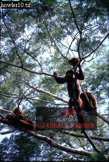Red Howler Monkey (Alouatta seniculus), Llanos, Venezuela, 1974